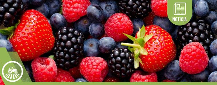 Berries en México