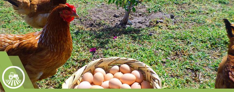 gallina huevos organico