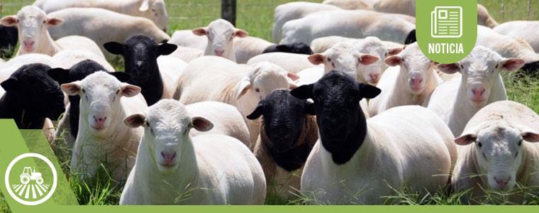 Carne, leche y lana, los tres negocios atractivos de la ovinocultura